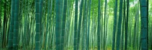 Bamboo Forest, Kyoto, Jayan