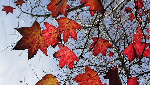 crisp autumn leaves with a red shade