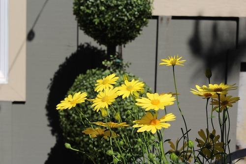 Yellow daisies in porch