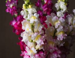 Balsam Hill Snapdragon Artificial Flower Stems