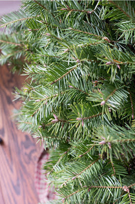 Real Fraser fir tree needles