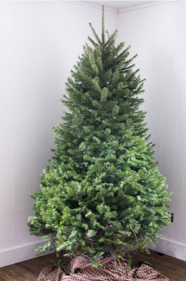 Full shot of a real Fraser Fir tree