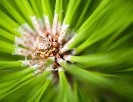 Christmas tree allergies to pollen